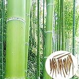 Rowentauk Bambus Samen, seltene Blaue Bambus Samen, Dekorative Garten, Bambus Samen für DIY Home Little Garden