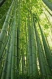 Seedeo Moso Bambus (Riesenbambus) Phyllostachys edulis 100 Samen