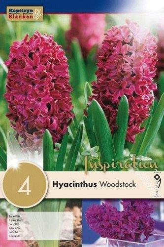 Hyazinthen Woodstock, 4 Stück