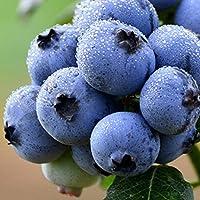 Ncient 10/20/30 Semillas de Arándano Blueberry Semillas Frutas para Huertos Semillas Flores Raras Plantas Bonsai para Jardín Balcon Interior y Exteriores