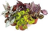 Fangblatt - 4er Begonien Set - farbenfrohe Blattschmuckpflanzen - außergewöhnliche Zimmerpflanzen, als absoluter 'Eyecatcher' auf Ihrem Fensterbrett