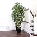 SALE: Exklusiver ROYAL Bambus ca. 180 cm getopft!
