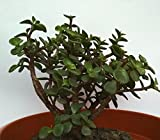 URBAN Gardening Jade Bonsai 1Years Old with Plastic Pot