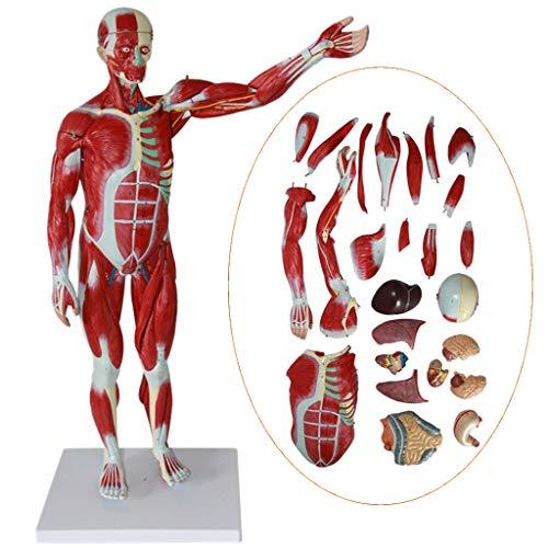 LUCKFY Scientific Menschliche Anatomie - Lernressourcen Menschlicher Muskel Anatomischer Körper Modell 78 cm Lernspielzeug Wissenschaft Homeschool Laborgeräte Anatomie Lehrmittel
