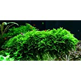 1 paquete Christmas Moss - Vesicularia montagnei - Plantas de acuario (4x6 cm)