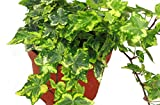 Hedera helix 'Gold Kolibri'- Efeu - echte Pflanze im 13 cm Topf als Hängepflanze, Bodendecker oder Zimmerpflanze