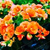 Fash Lady Schlussverkauf!100 Samen/Lot MIX Begonia Samen 100% Wahre Malus Spectabilis Samen Topf Begonie Bonsai Pflanze Diy Samen 3
