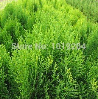 Parcs, Plantes Routes vertes, verticales Belle Cypress Graines, Graines (Mongolie intérieure) Conifer 100 Piece / Sac