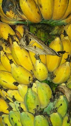 Musa balbisiana Gigantea, Banana, tropical feeling for your garden, yellow fruits, 10 graines
