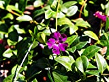 Lila Immergrün - Vinca Minor Altopurpurea - Bodendecker - Gesamthöhe 20-25cm (10)