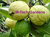 M-Tech Gardens Dwarf White Indonesian Seedless Guava Psidium Guajava, 1 Healthy Live Plant