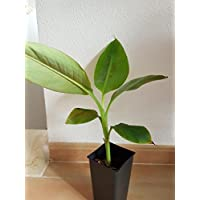 Banana plant, Platanera Canaria, Gran Enano, Grand nain, Rare tropical plant