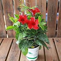 Shopvise 30 Rudbeckia Toto or Dwarf Graines de fleurs//r/éensemencement annuelles