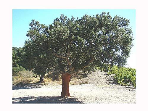 Galleria fotografica Rare sughero quercia Quercus Suber Seedling, Evergreen Tree, Nodoso corteccia, 8–10cm di altezza piantina pianta in un vaso da 8cm