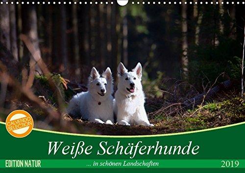Weiße Schäferhunde in schönen Landschaften (Wandkalender 2019 DIN A3 quer): Weiße Schäferhunde präsentieren sich in bezaubernder Natur (Monatskalender, 14 Seiten ) (CALVENDO Tiere)