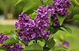 Flieder purpurrote Blüte Edelflieder Charles Joly Syringa vulgaris Charles Joly Containerware 40-60 cm hoch