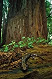 The Poster Corp Larry Minden - Pacific Giant Salamander in