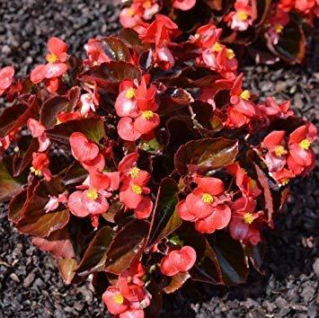 GEOPONICS 50 Semillas - Semillas flor martillo Begonia