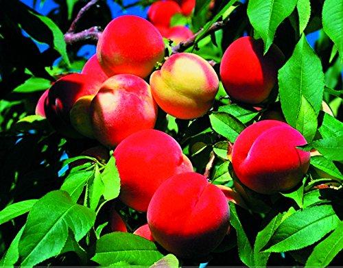 ADB Inc 2016 neue 2 + 2 Samen mittelgroße Nektarine glatthäutig Pfirsich Fruchtsamen