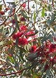 Seedeo Weisser Eucalyptus (Eucalyptus leucoxylon rosea) 200 Samen