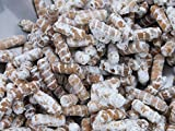 Portal Cool Peine Dientes-(Hericium americanum) Seta Plug Spawn goujons -75