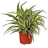 """Amazon.de Pflanzenservice Grünlilie """"Ocean"""", 2 Pflanzen, Zimmerpflanzen, Ampelpflanzen"""