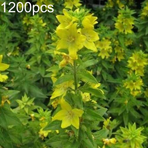 Kimilike Rhinanthus Minor Seeds, 1200Pcs Wild Flower Yellow Rattle Rhinanthus Minor Seeds Garden Yard Decor Diy, Rhinanthus Minor Seeds One And Perennial