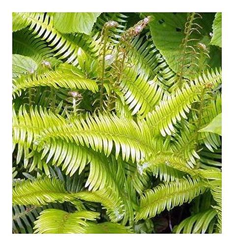 Blechnum stipitatum - Farn - 10 Samen