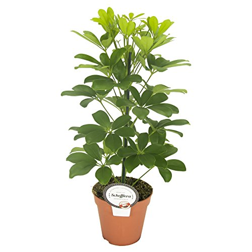 Strahlenaralie (Schefflera arboricola), luftreinigende Zimmerpflanze, pflegeleicht, ca. 45cm hoch im 13cm Topf (Sorte: Nora, gelbgrünes Laub)