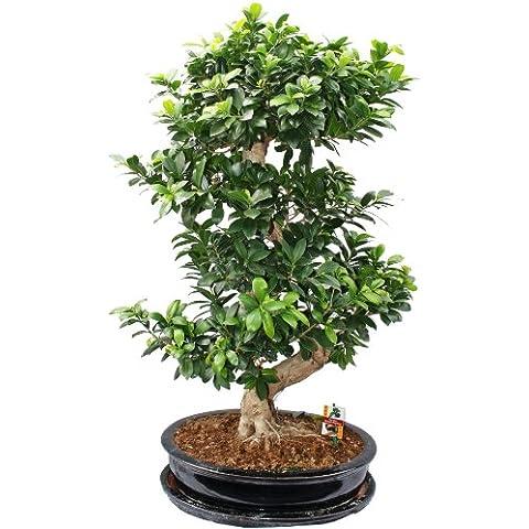 Thai Ficus - Ficus microcarpa - 12-15