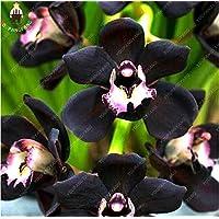 100 PC / Plantas bolsa de semillas Único Negro Cymbidium Faberi de flores jardín de flores Orquídea Semillas fácil de cultivar semillas de Bonsai