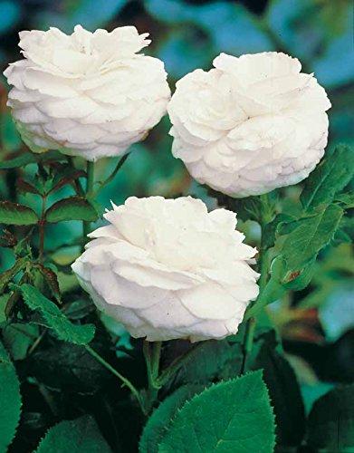Rosier botanique 'Boule de Neige' (Bourbon)