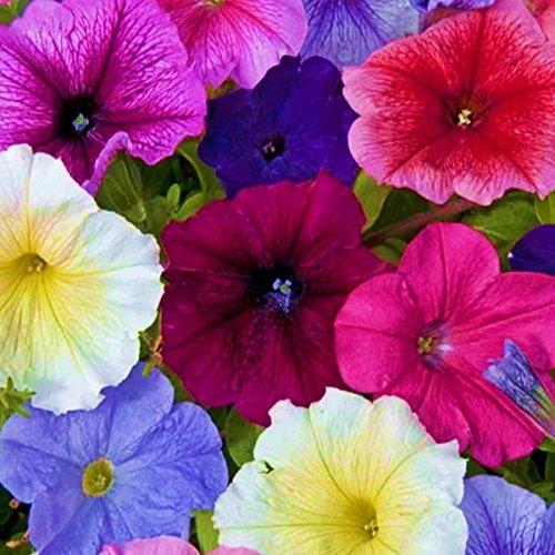 Petunia Fantasia Mix | Tray of 20 Medium Plug Plants