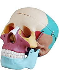 Image of 66fit Life Size Human Skull Anatomical Model Painted Bones - Medical Training Teaching Aid - Comparsion Tool