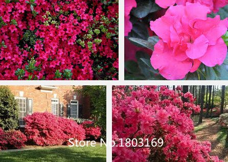 20-hybrid-seeds-tea-rose-black-pearl-buon-aroma-giardino-domestico-di-diy-bush-bonsai-yard-fiore