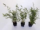 40 x Bambus, 40-50 cm ab Topf, Fargesia murielae Jumbo, winterharter Gartenbambus