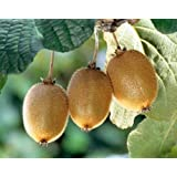 Actinida delisiosa - kiwi – 15 graines