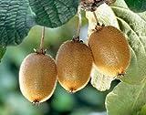 Actinida delisiosa - Kiwi - 15 semillas