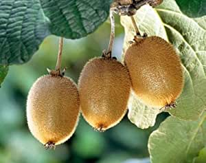 Exotic Plants Actinida delisiosa - - 15 semi