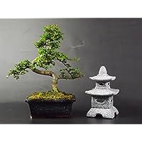 Cinese elm-20–25cm in vaso di ceramica blu e Pagoda portacandela Set Regalo