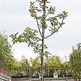 Apfel Baum 'Idared' Malus domestica im 7,5L Topf gewachsen 150-200cm winterharter Obstbaum