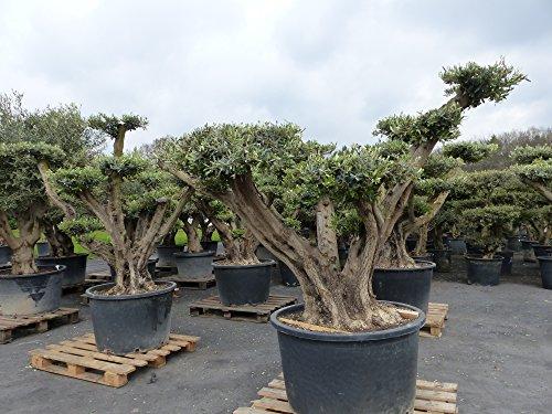 Bonsai Pon Pon Olivenbaum, Olive 200 - 220 cm, winterhart, Olea Europaea