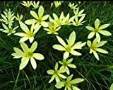#3: Rare Rain lily Lemon Yellow (hybrid of white and yellow) Zephyranthus, Pack of 5 bulbs