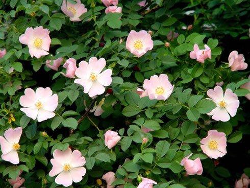 Rosa Canina 25 Samen (Wild Rose Samen, Hund Rose Seeds) Rose Pflanze