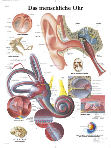 3B Scientific Lehrtafel laminiert - Das Menschliche Ohr