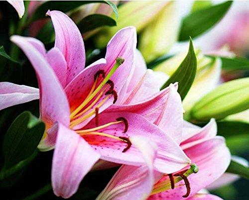 100 PCS couleurs Lily Graines, lys parfum bon marché Graines, Couleur Rare Flower Garden plantes - Mixing différentes variétés 4