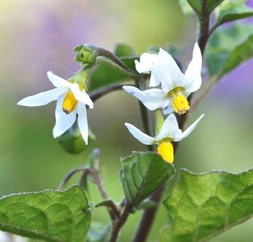 Schwarzer Nachtschatten Solanum nigrum Garten Huckleberry hierba mora Samen 100 Samen
