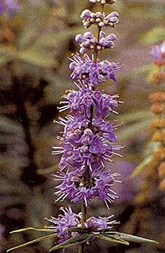 Semi Vitex Agnus castus