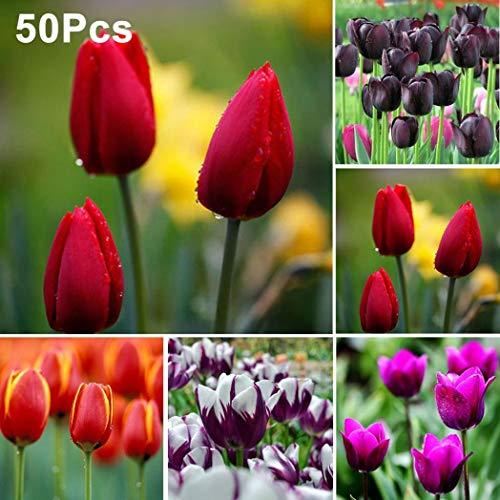 Semillas Plantas Semillas 50Pcs Tulipán Bulbos de Flores Yarda del Jardín de DIY Crecer Bonsai Plant Decor - Tulipán Rojo Siembra