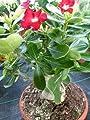 Tropica - Sukkulenten - Wüstenrose (Adenium obesum) - 8 Samen von Tropica auf Du und dein Garten